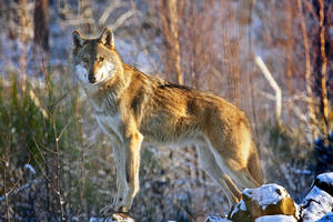 Wolf in Pose_by_paukereks_pixelio.de