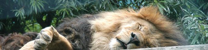 Schlafender Löwe im Tierpark Ueckermünde